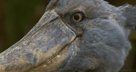Shoebill stork, really?, what did you just say there, what?, what did you say? GIFs