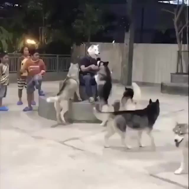 Watch and share Huskies GIFs and Dogs GIFs by tarinasaurus on Gfycat