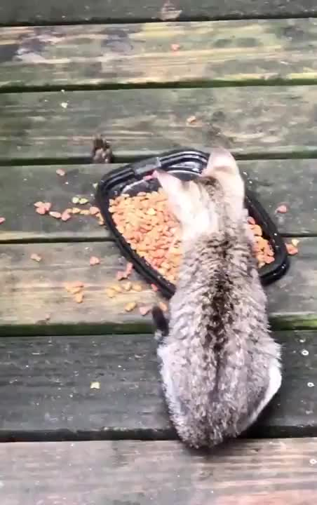 Sneaky racoon shares a meal with some kittens - gif