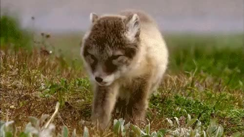 Watch and share Coyote GIFs on Gfycat