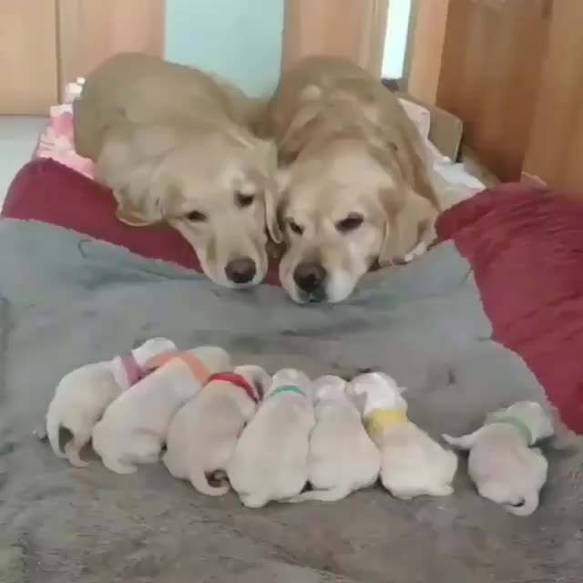 aww, awww, awwwww, dogs, puppies, Tired, happy parents GIFs