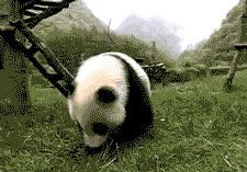 Cutest Panda GIFs Barrel Roll GIFs