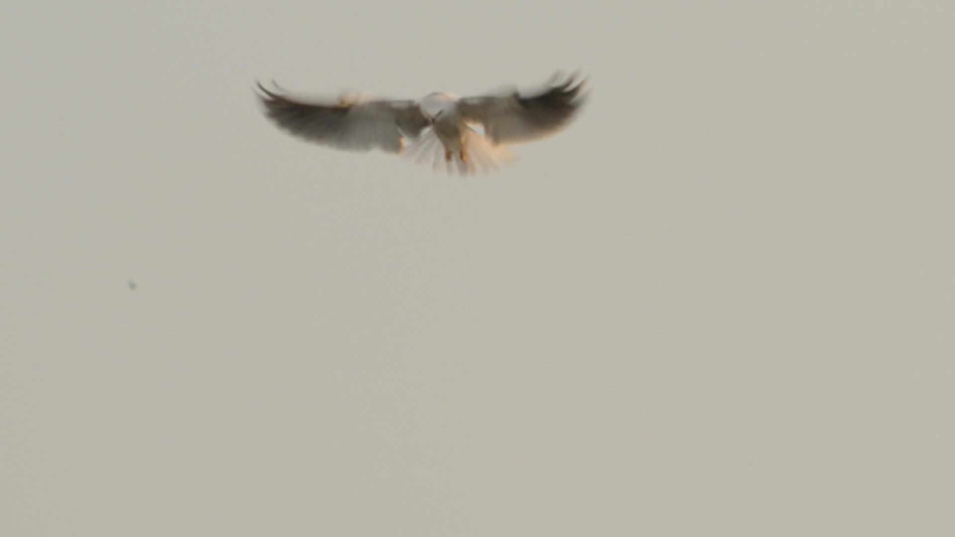 white-tailed kite, A Close Up Look at a White-tailed Kite Hunting and Eating GIFs
