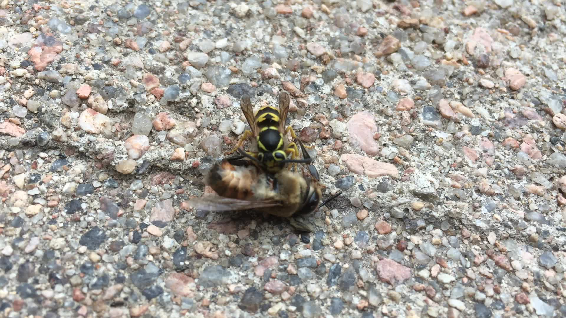 A wasp devouring a bee
