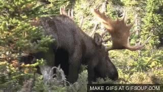 Watch Moose GIF on Gfycat. Discover more related GIFs on Gfycat