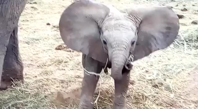 Watch show em who's bossQ GIF on Gfycat. Discover more babyelephant, cute, funny GIFs on Gfycat