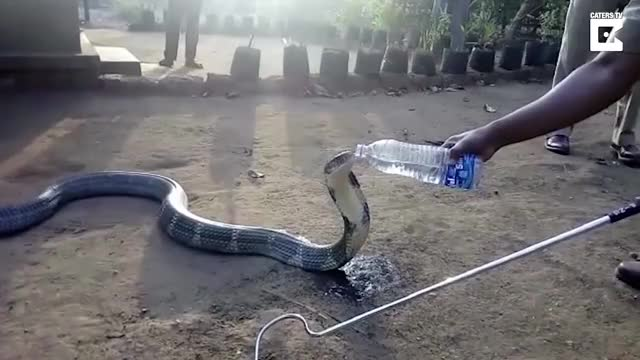 Watch Rescued Cobra Drinks Water From Bottle GIF on Gfycat. Discover more catersnewsagency, caterstv, viral GIFs on Gfycat