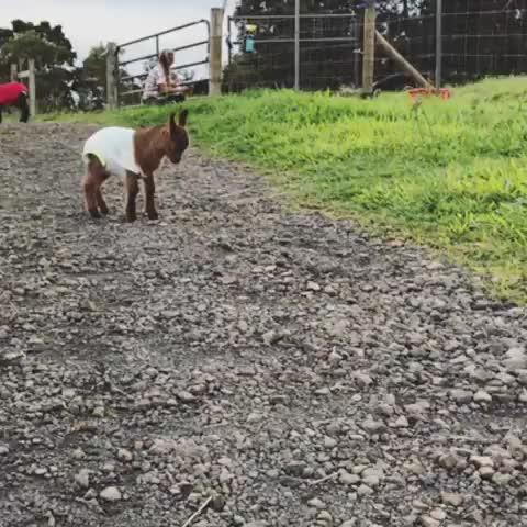 friendsnotfood, goatparkour, govegan, magical creatures of hamakua, rescue, sanctuary, Leo is training to become a tornado at Magical Creatures of Hamakua Farm Sanctuary GIFs