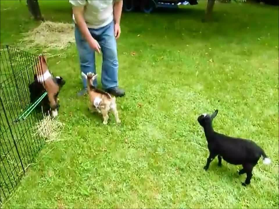 hitmanimals, Goat drop kicking friends FDB (reddit) GIFs