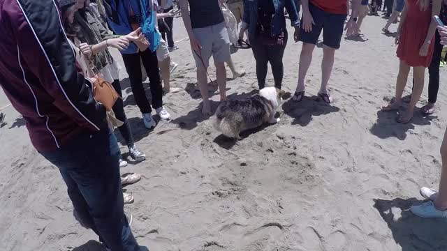 Watch and share Corgi Digging GIFs by MrSenseOfReason on Gfycat