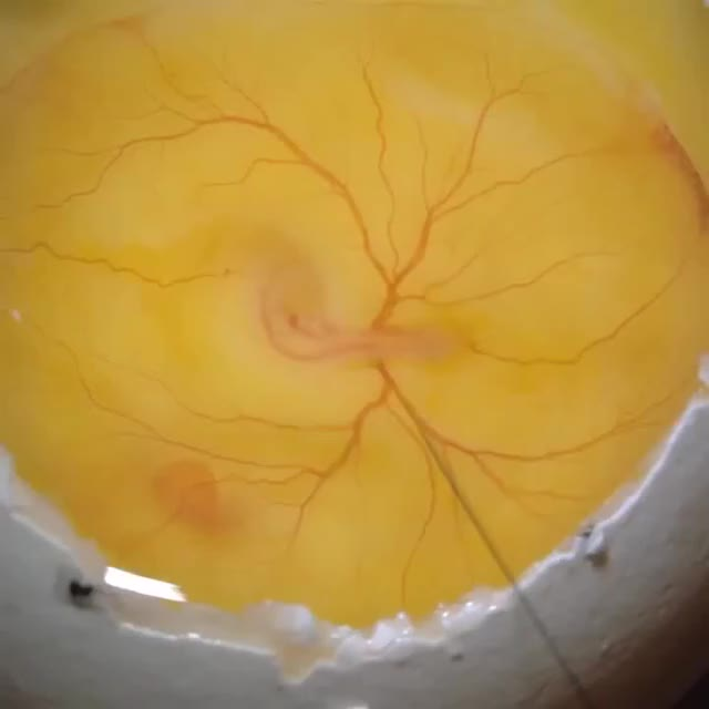 Watch Ink injection into yolk sac artery of 72 hour-old chick embryo to visualize the beating heart and the vasculature GIF by @sirtsix on Gfycat. Discover more heart, r/sciences, science GIFs on Gfycat