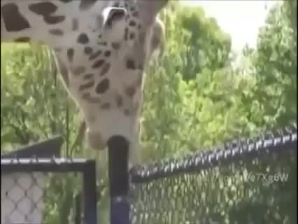 Watch and share Giraffe GIFs and Funny GIFs on Gfycat