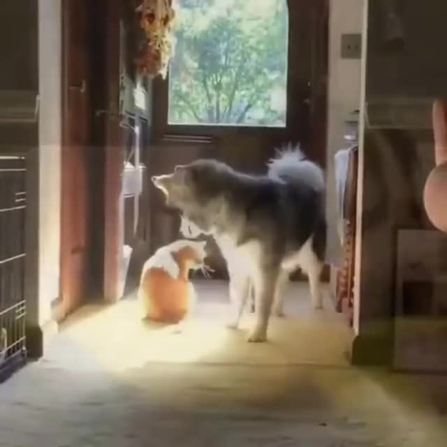 Watch and share Husky GIFs by qwerty27ua on Gfycat