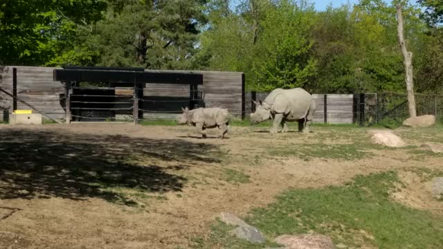 Watch and share Toronto Zoo Baby Rhino Playing With Mother GIFs on Gfycat