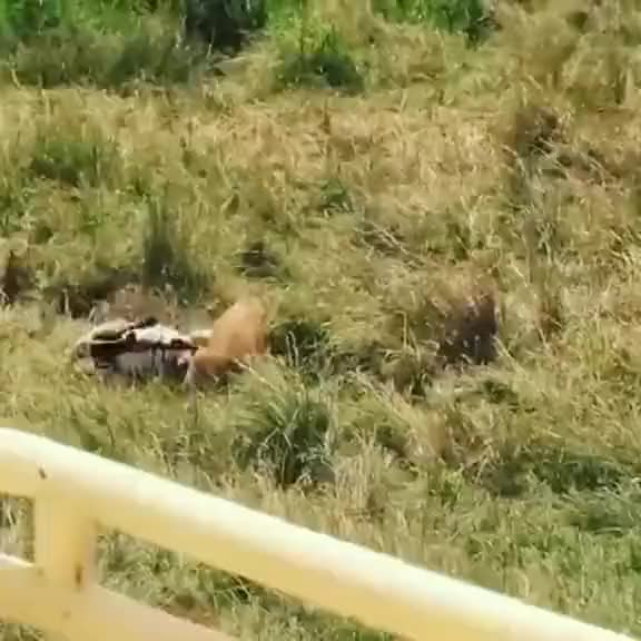 Watch and share Zebra Saves It's Calf From A Lionesses GIFs by EngineerScientist on Gfycat