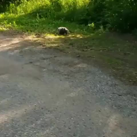 Watch Hard working possum momma supporting her family GIF by tothetenthpower (@tothetenthpower) on Gfycat. Discover more nature GIFs on Gfycat