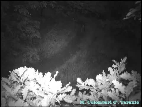 Wild Boar chasing two Wolves GIFs