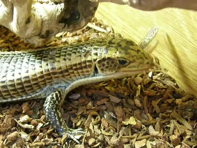 Black Lined Plated Lizard eating a locust