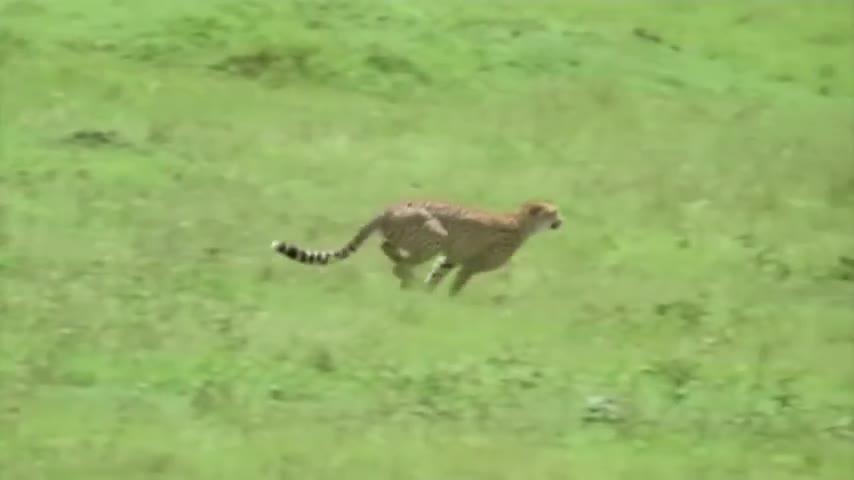 Cheetah, Impala, Pets & Animals, car, cars, chevrolet, chevy, klesk1010, nature, paramore, Cheetah chasing Impala GIFs