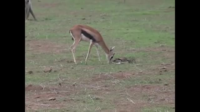 Watch and share Thomson's Gazelle Trying To Defend Her Fawn From Baboons GIFs by Pardusco on Gfycat