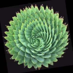 Watch and share Succulent-300x300-spin GIFs on Gfycat