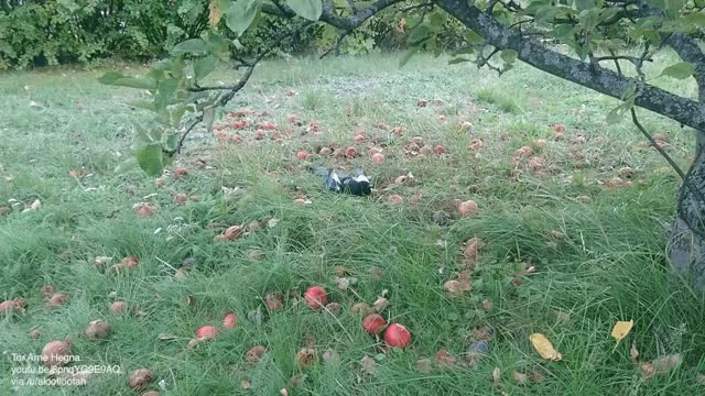 Watch and share Magpie Drunk On Fermented Apples GIFs by aloofloofah on Gfycat